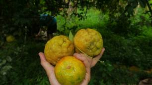 "our very own ""ugly"" (aka rough) lemons"