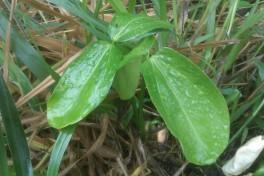 nalampi-seedling